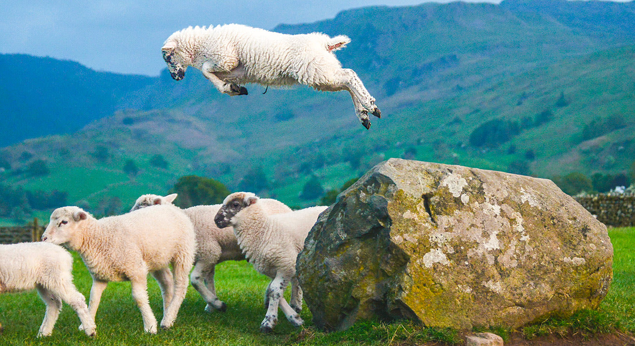 scotland sheep jumping frolicking