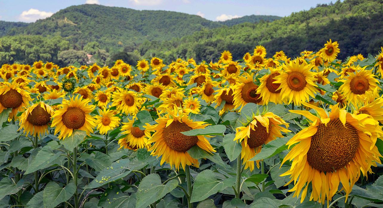 france sunflowers mirepoix