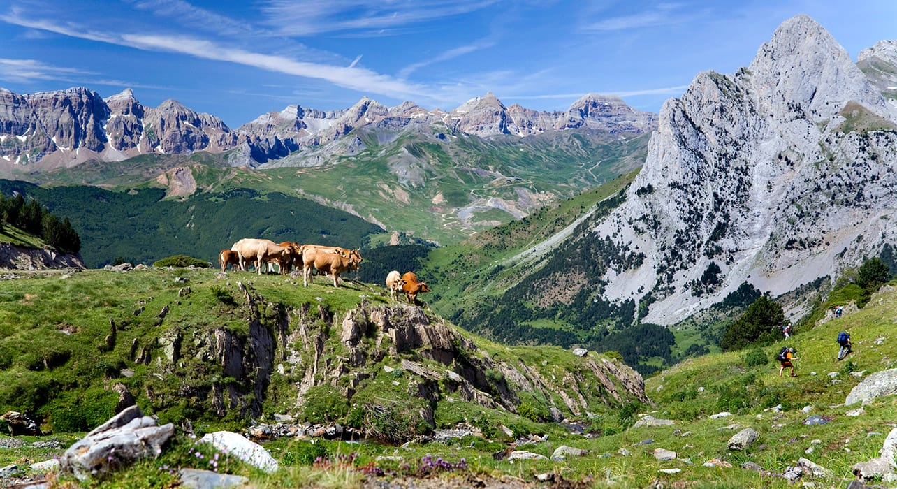 france french pyrenees cows hikers