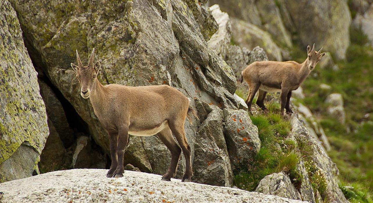mt blanc ibex wildlife