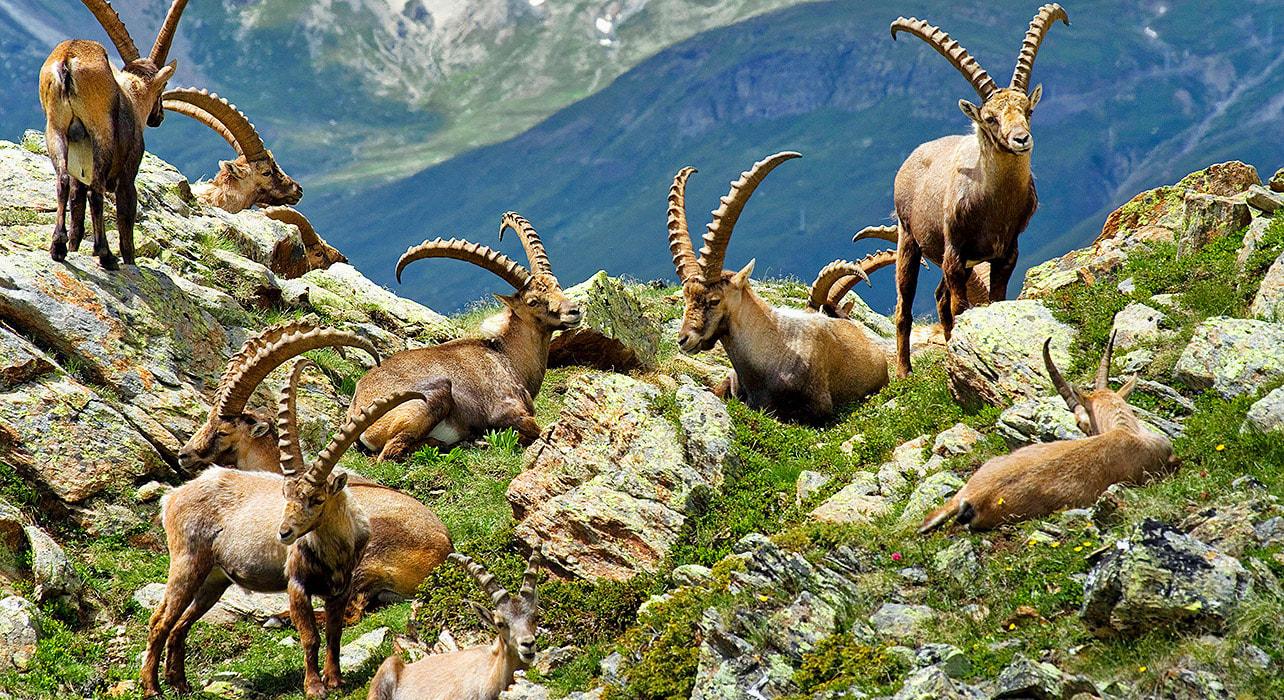 mont blanc ibex