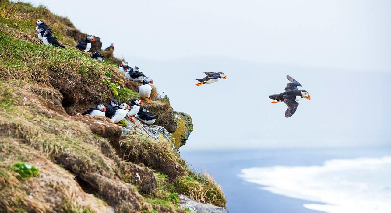 iceland puffin bird coastline