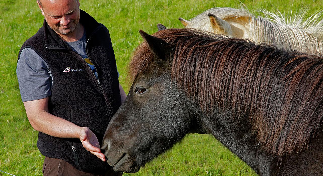 iceland icelandic horse
