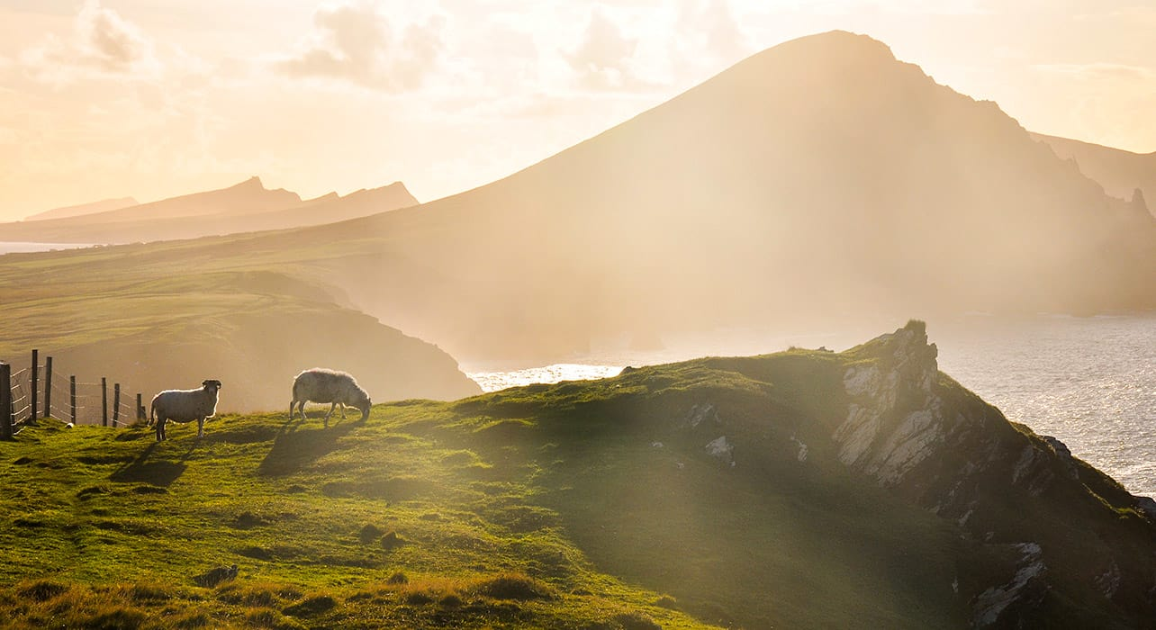 spirit of ireland sheep sunset coastline