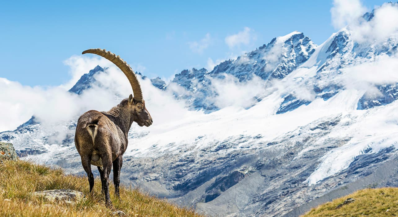 grand paradisio ibex animals wildlife alps