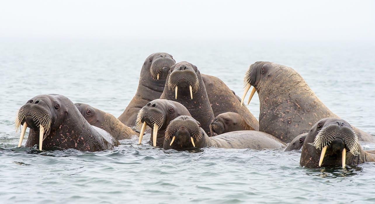 walrus artic svalbard islands