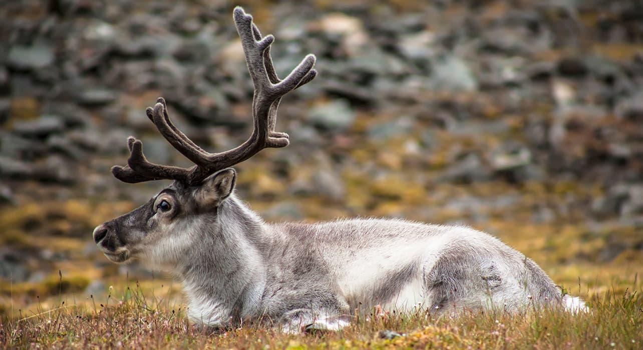 norway svalbard islands spitsbergen reindeer wildlife