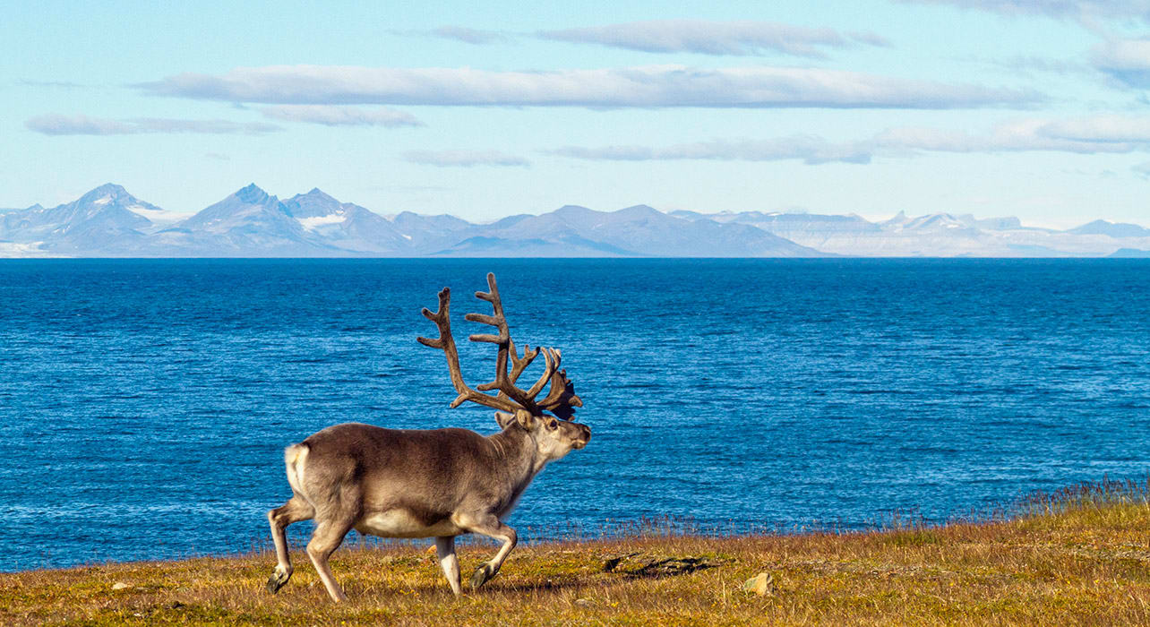 norway reindeer wildlife