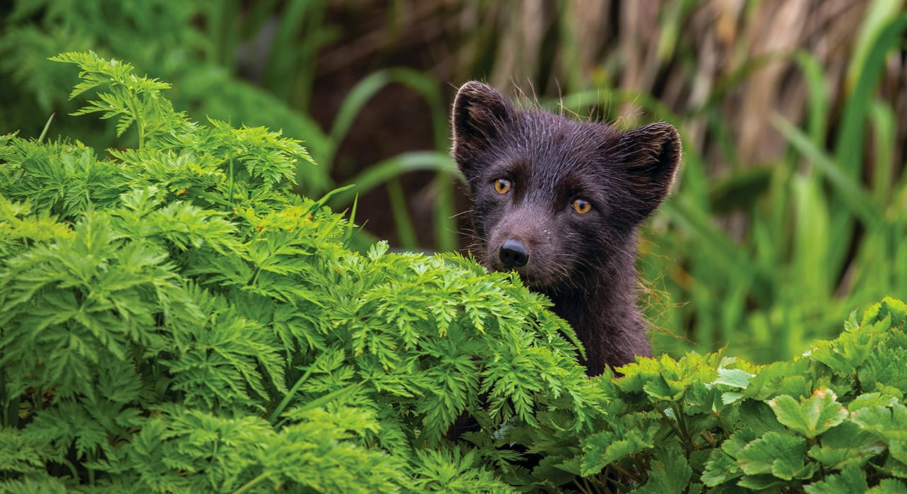 4 slide russia far east otaru yankicha island arctic fox pano