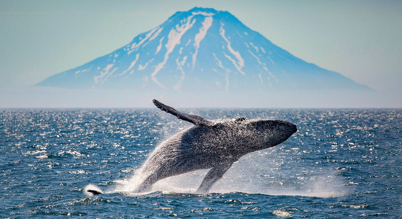 5 slide russia far east otaru atlasova island humpback whale pano