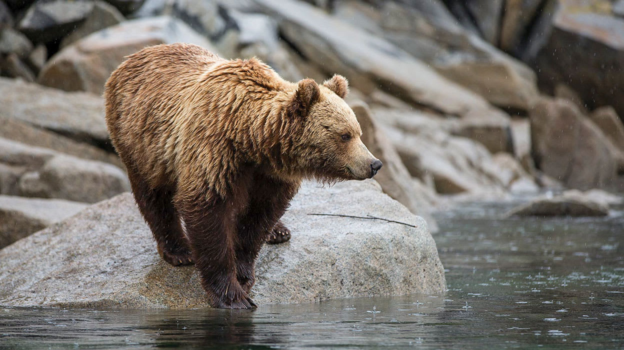 russian far east alutian islands kodiak bear