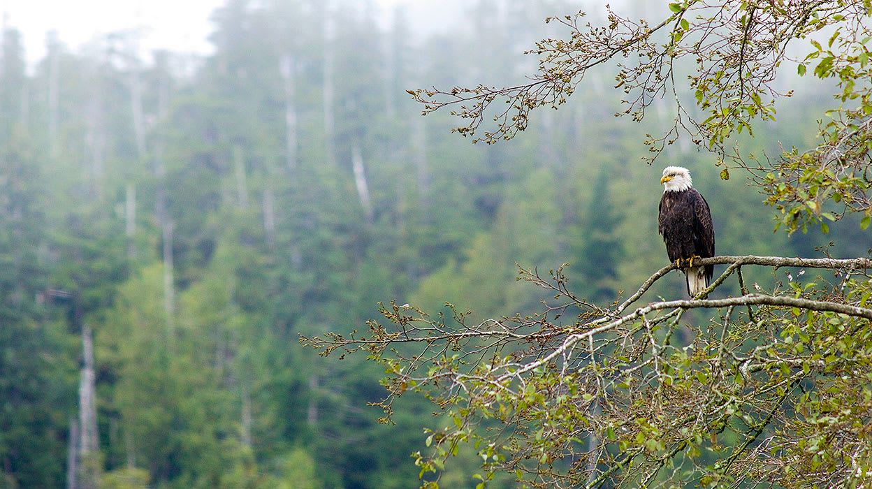 bald eagle alaska wildlife