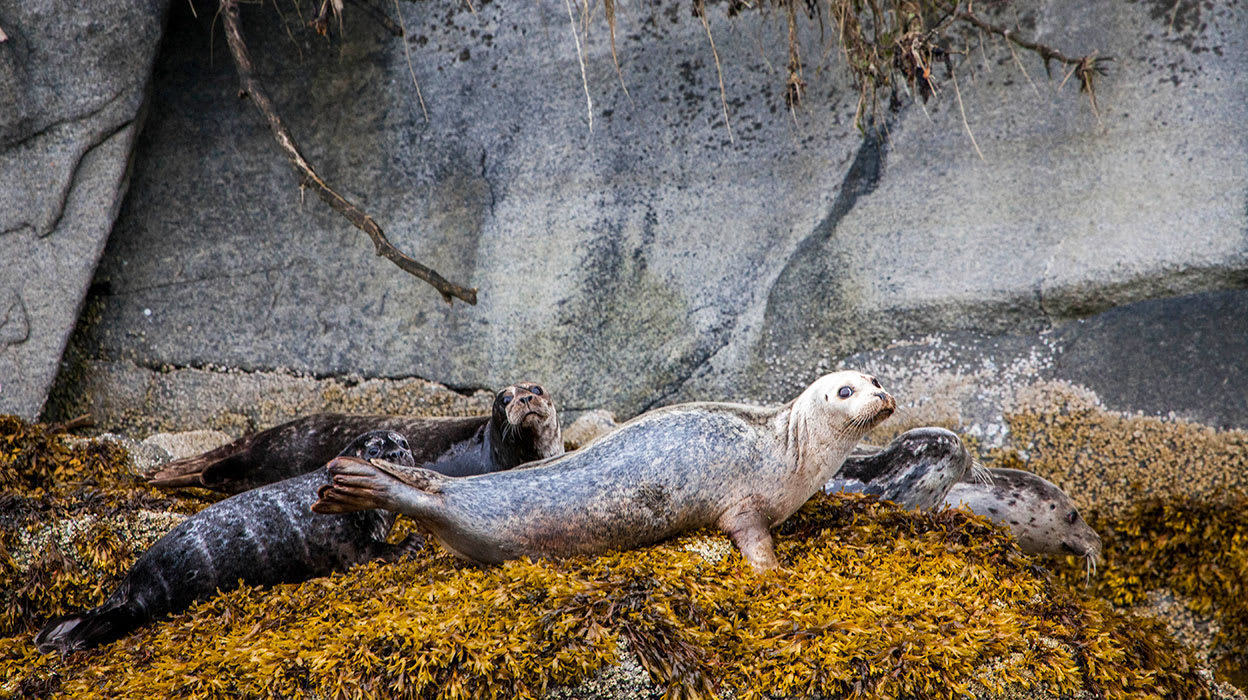 harbor seals wildlife alaska
