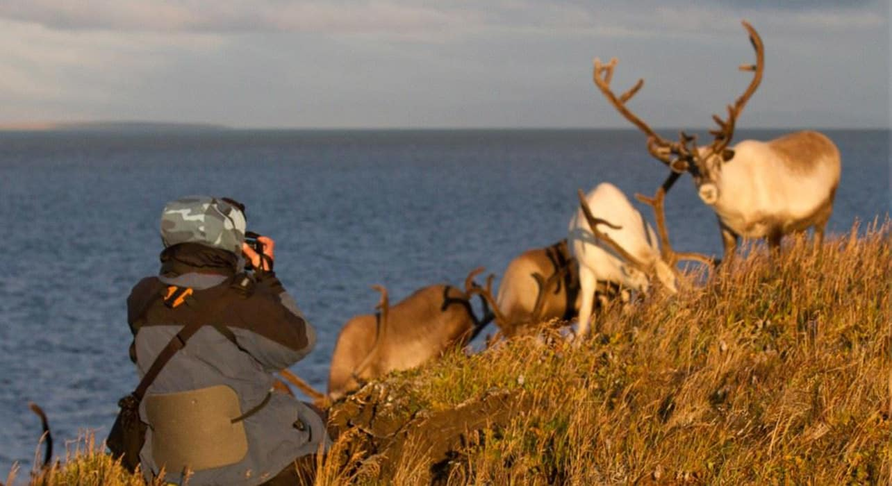 wrangel island reindeer