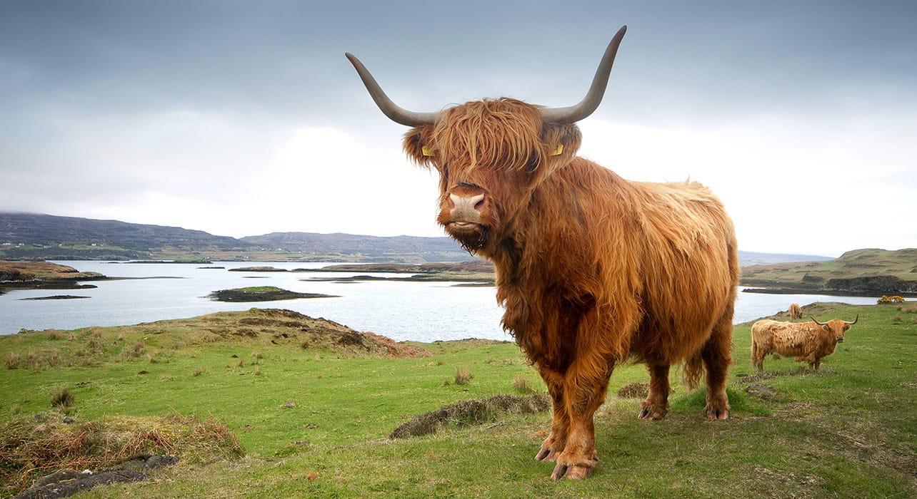 scotland highland cow on the isle of skye