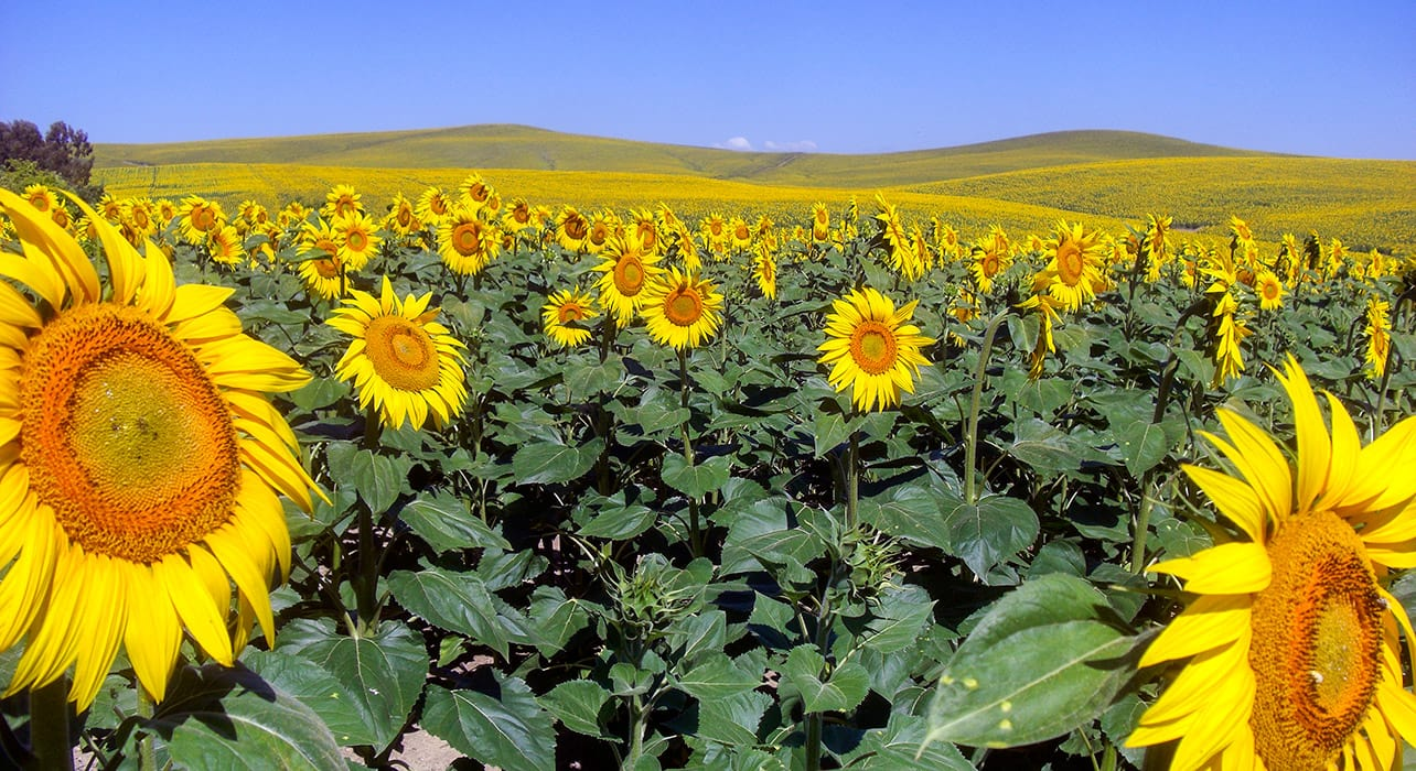 5 slide southern spain sunflowers fields pano
