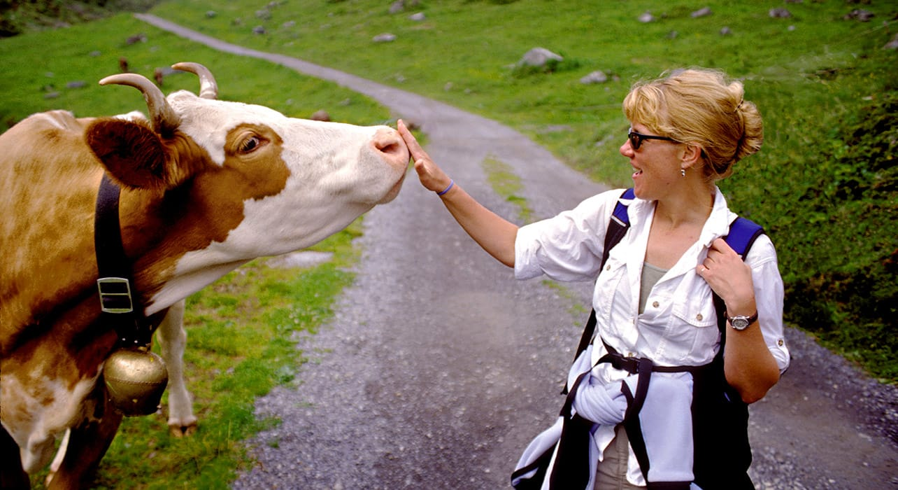 hiker meeting cow friend alps