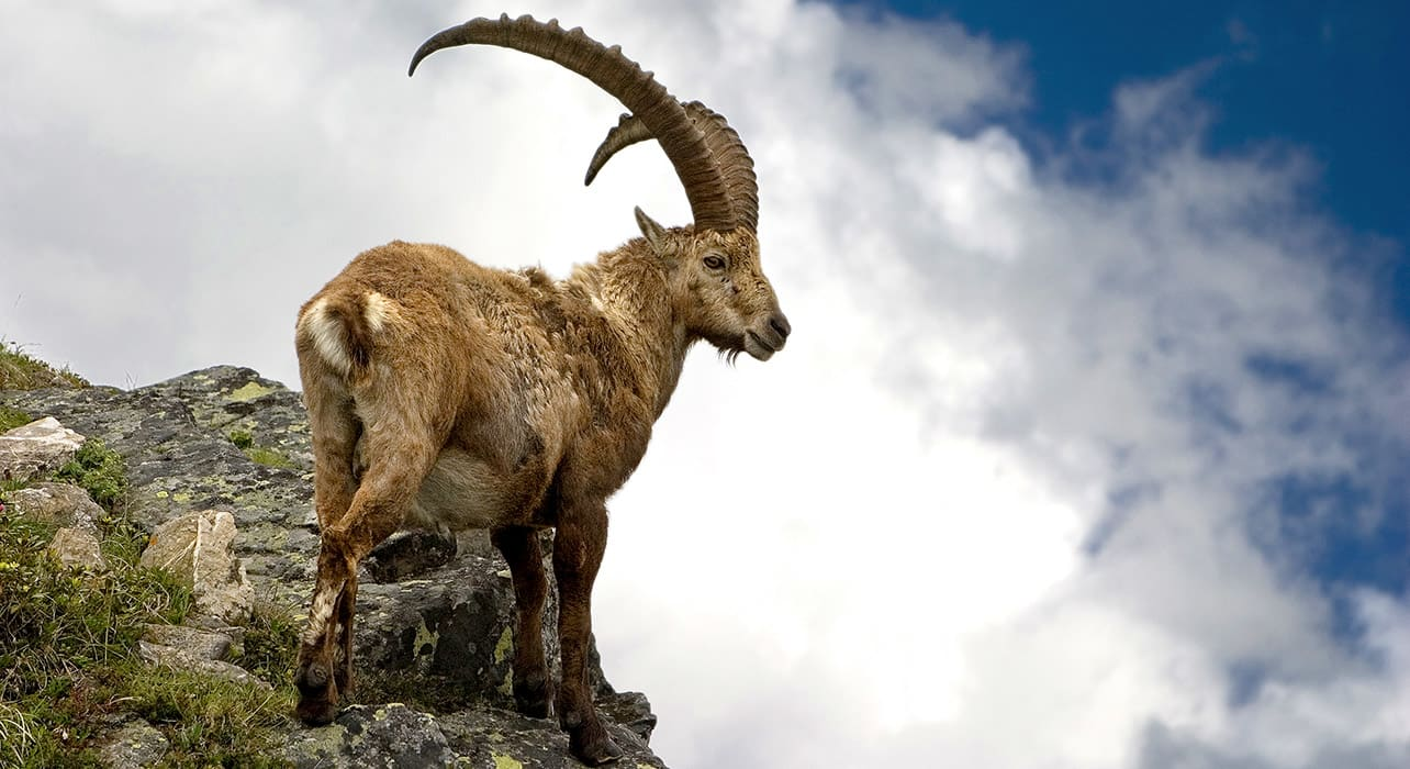 ibex on mountain wildlife