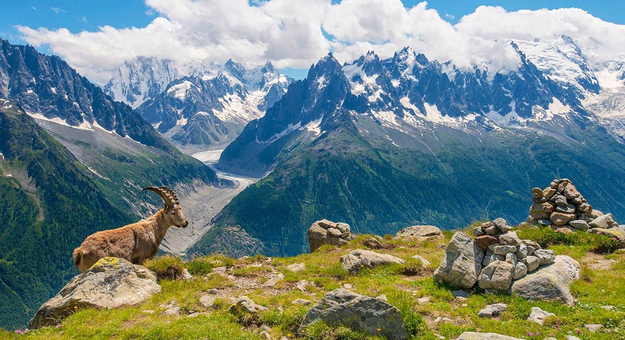 mnt blanc area glacier ibex