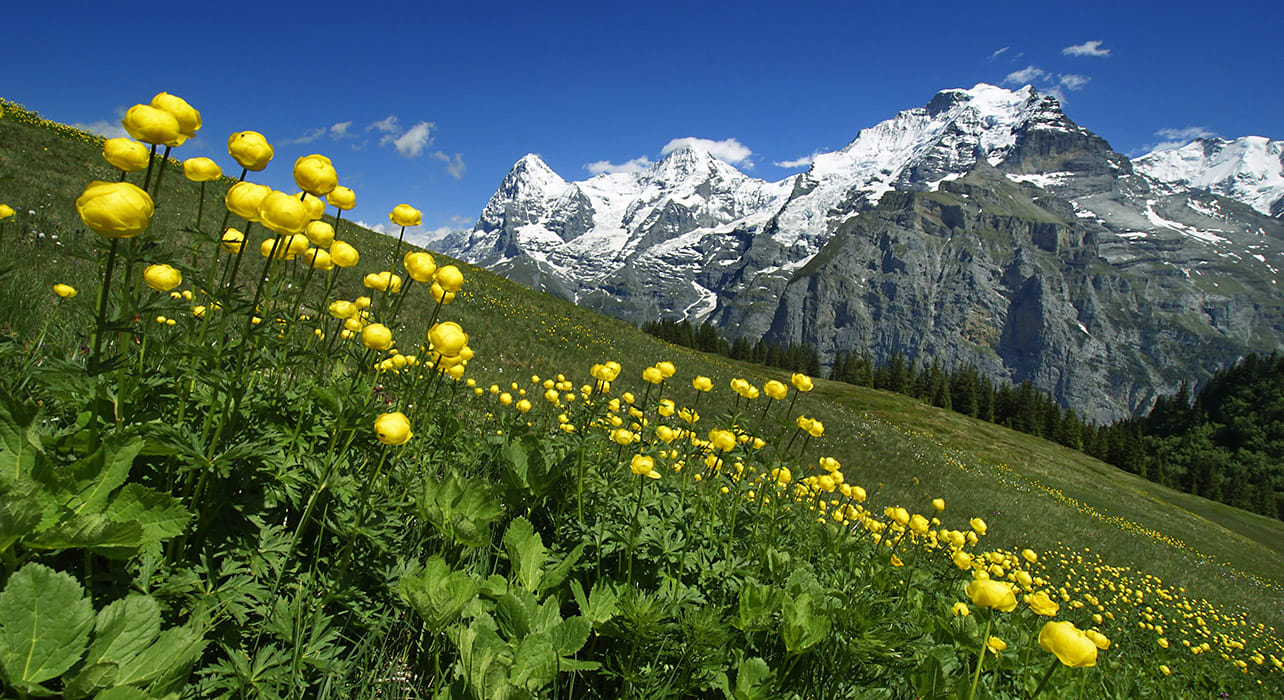 switzerland eiger moench and jungfrau flowers