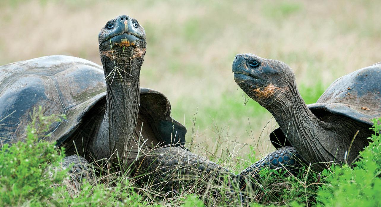 enchanted galapagos giant tortoise isabella island