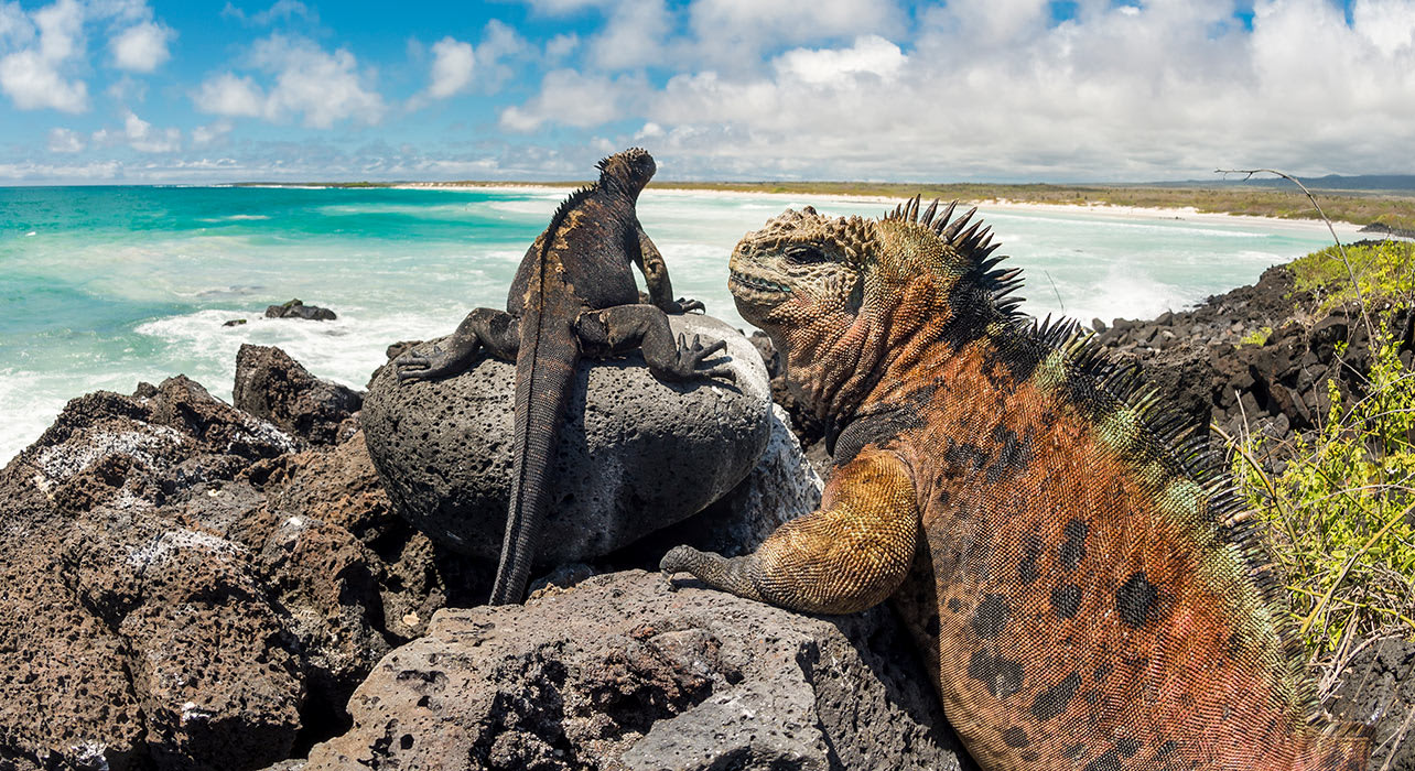 enchanted galapagos land iguanas sunning