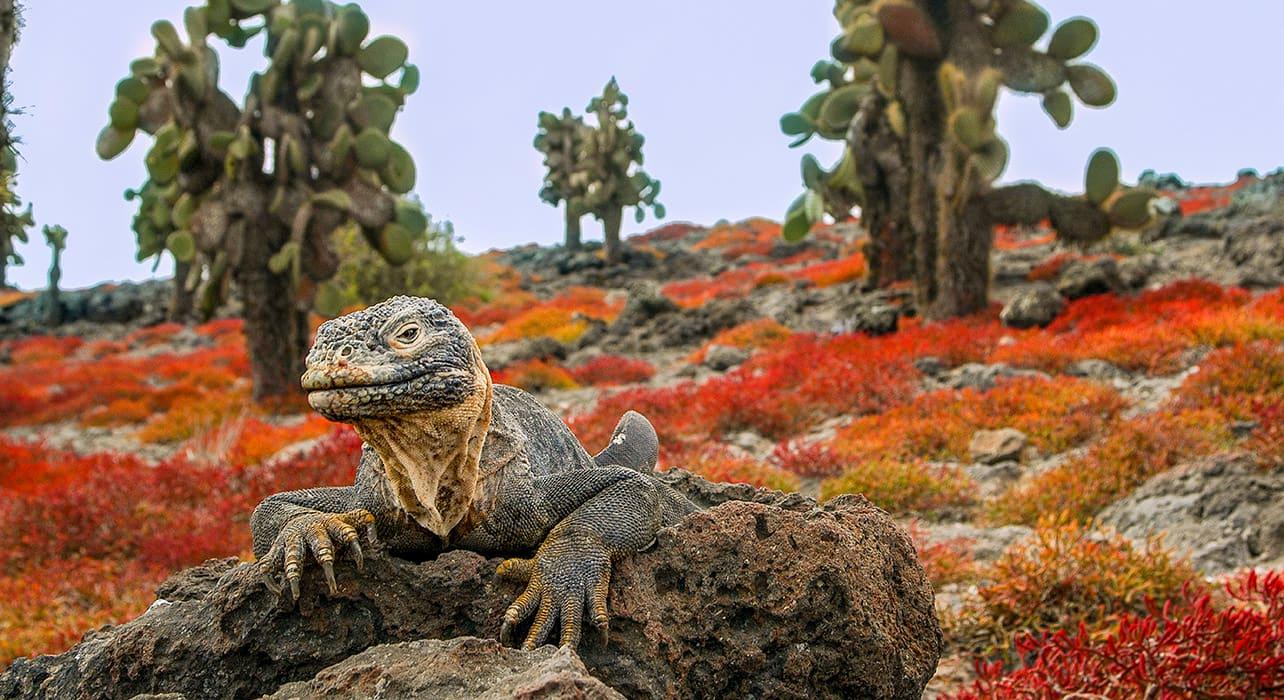 galapagos adventure plazas island iguana