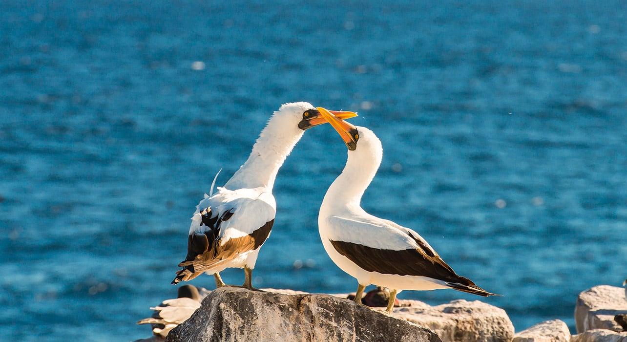 galapagos adventure nazca boobies