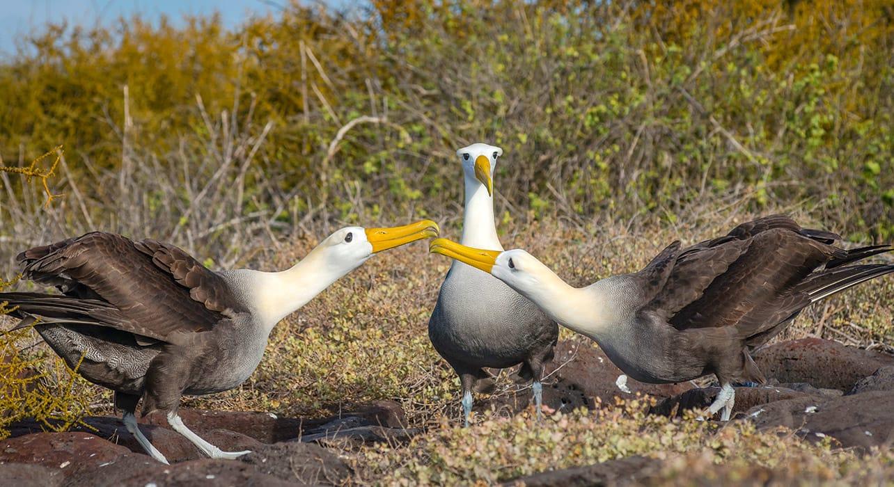 3 slide galapagos waved albatross pano