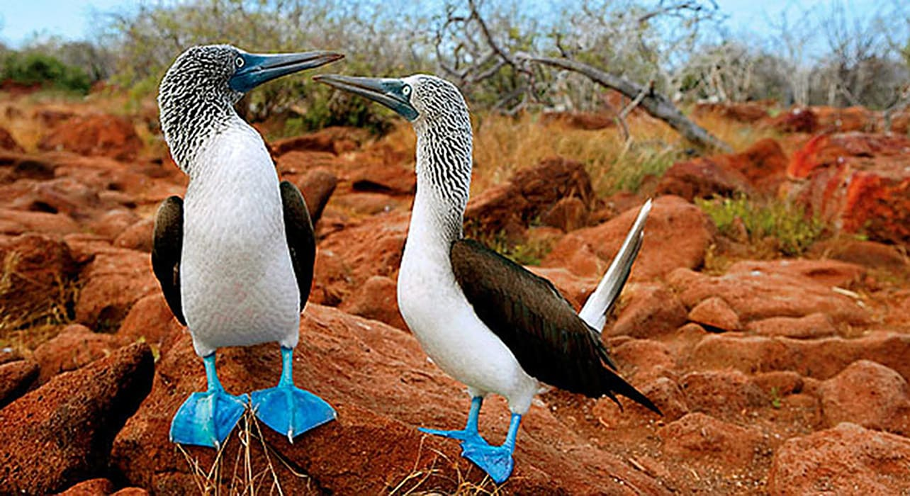 ultimate galapagos blue footed boobies