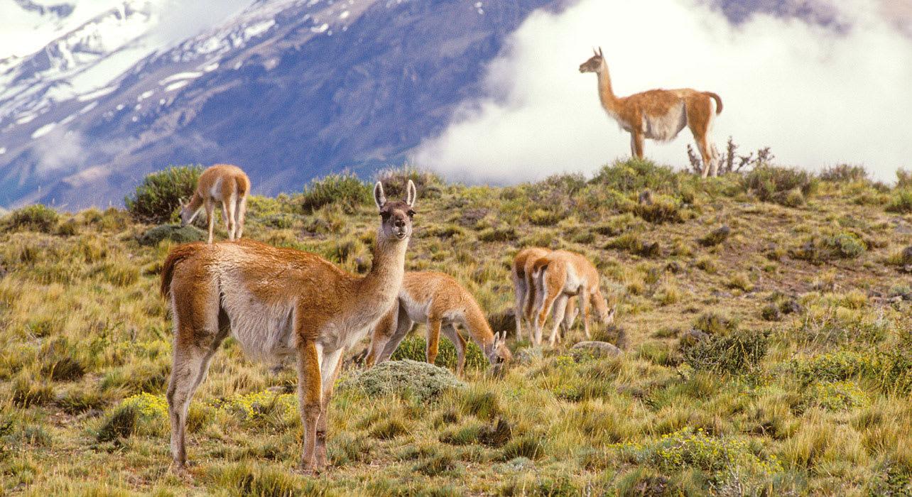 5 slide patagonia vicunas wildlife pano