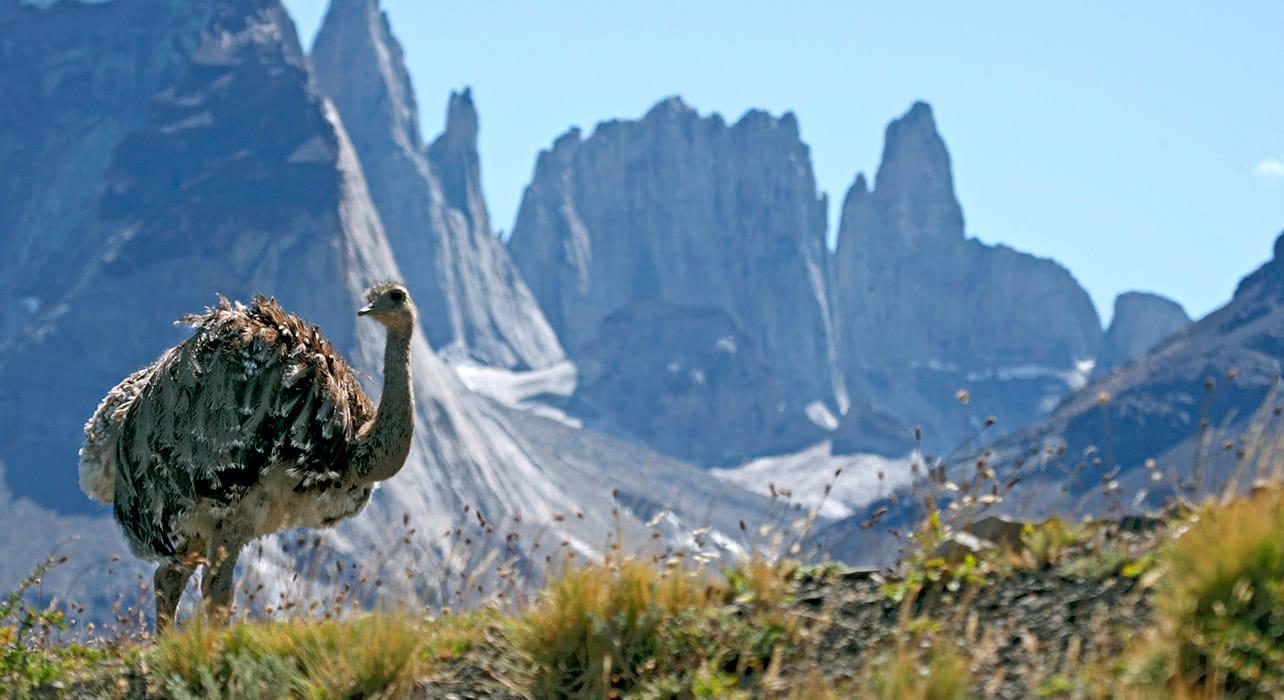 patagonia lesser rhea wildlife