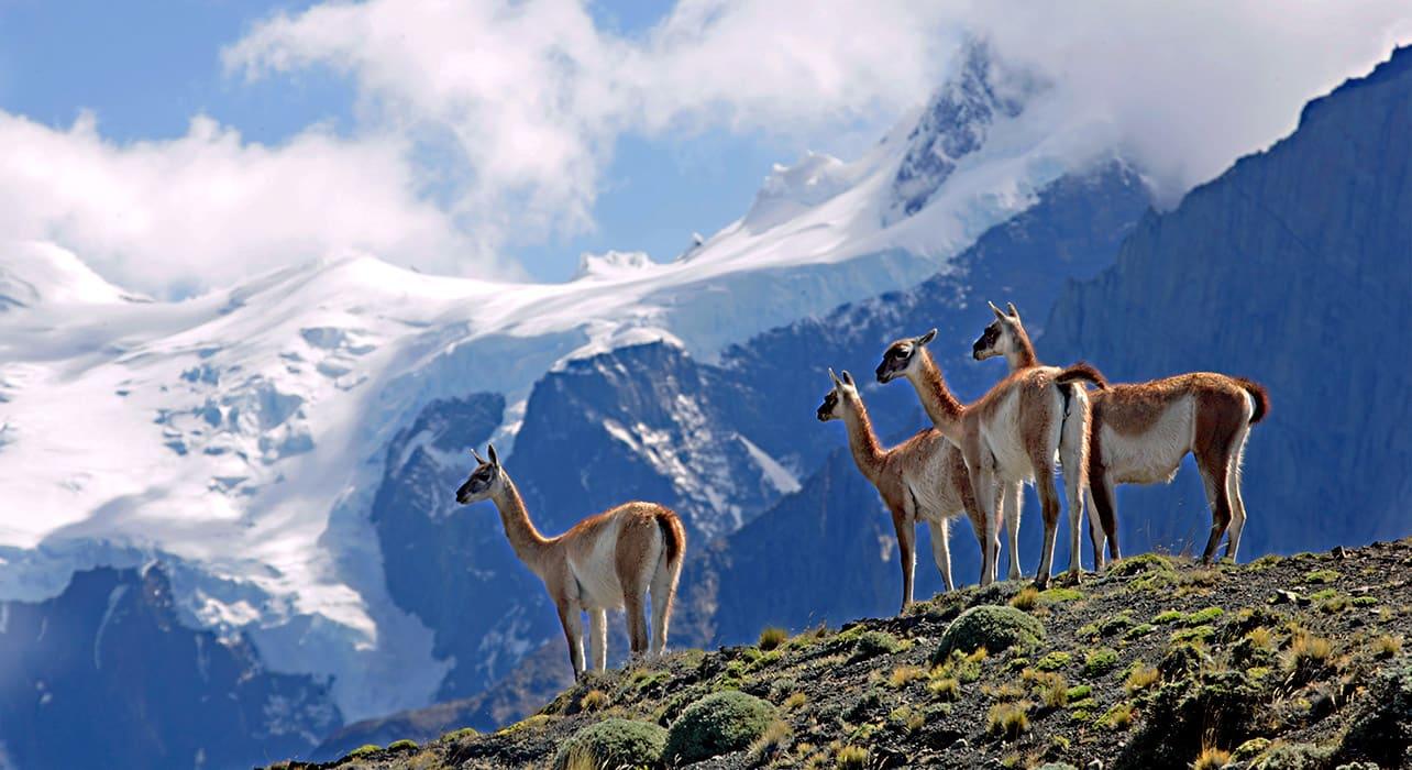 patagonia guanaco pack wildlife