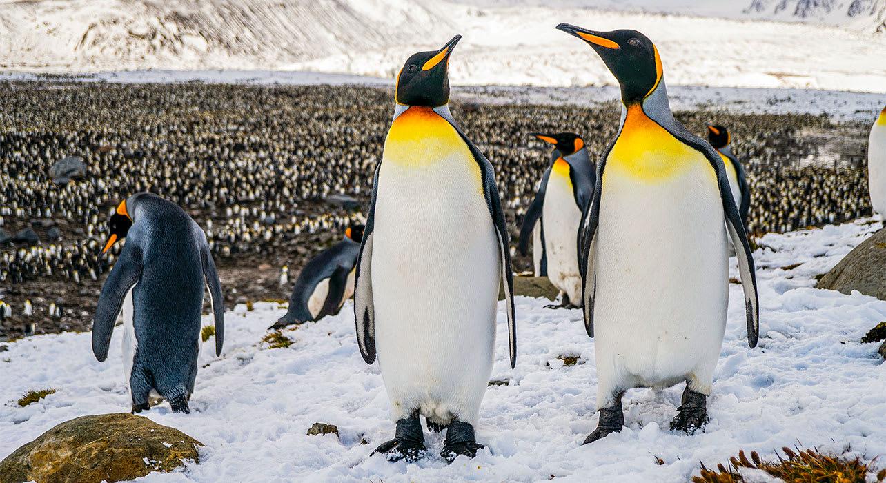 antarctica emperor penguins south georgia island