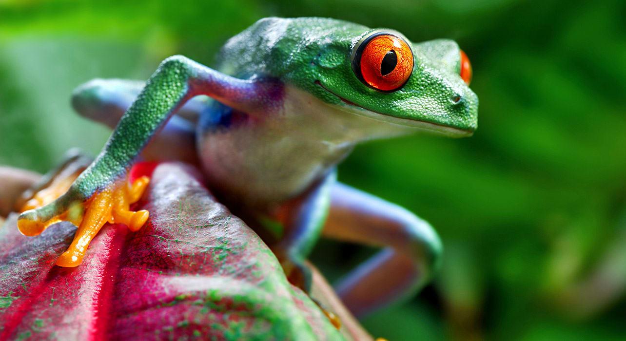 tree frog jungle