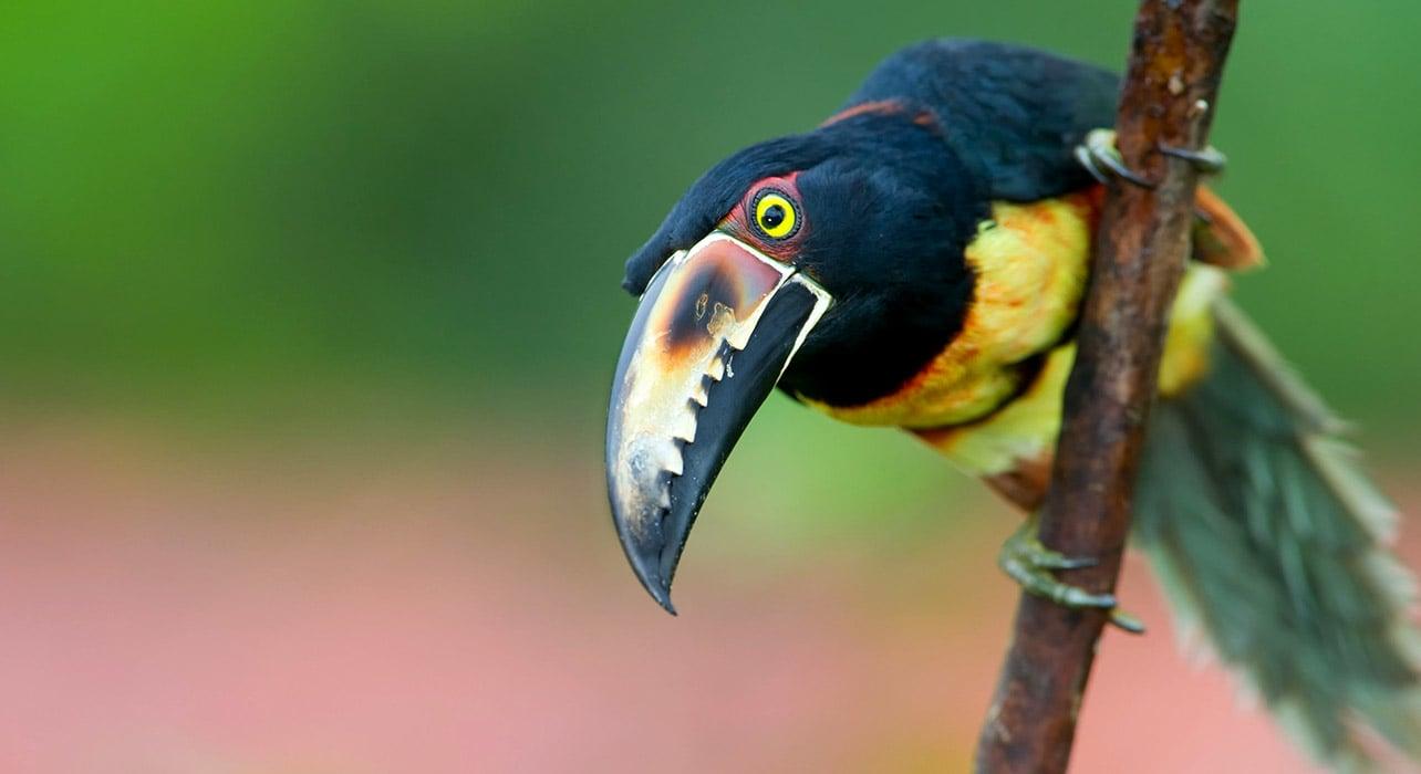 toucan belize jungle