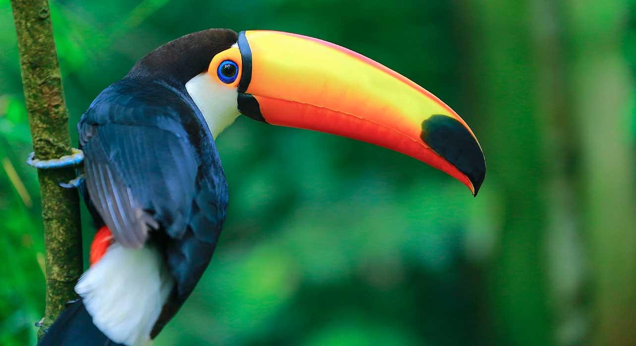 brazil pantnatal toucan bird
