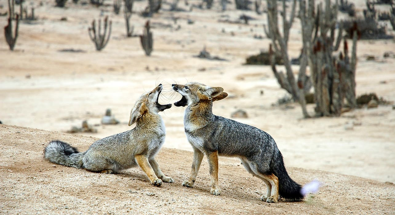 atacama desert chile foxes wildlife