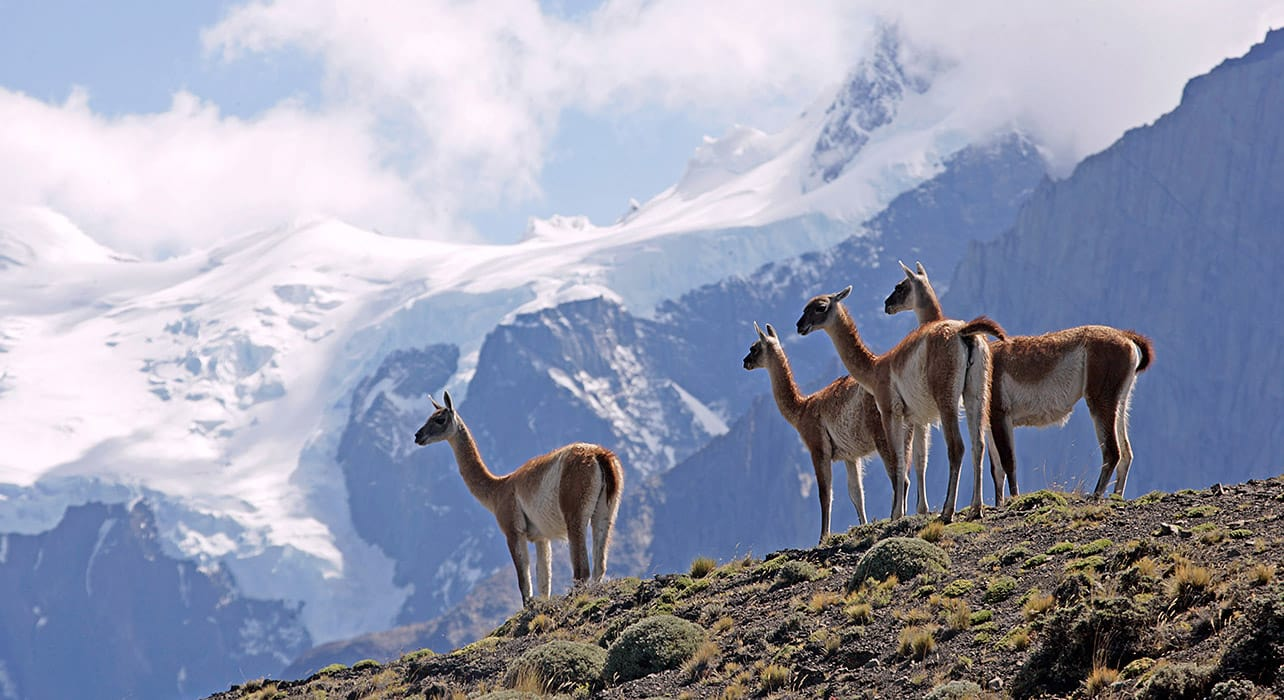 chile mountain guanaco