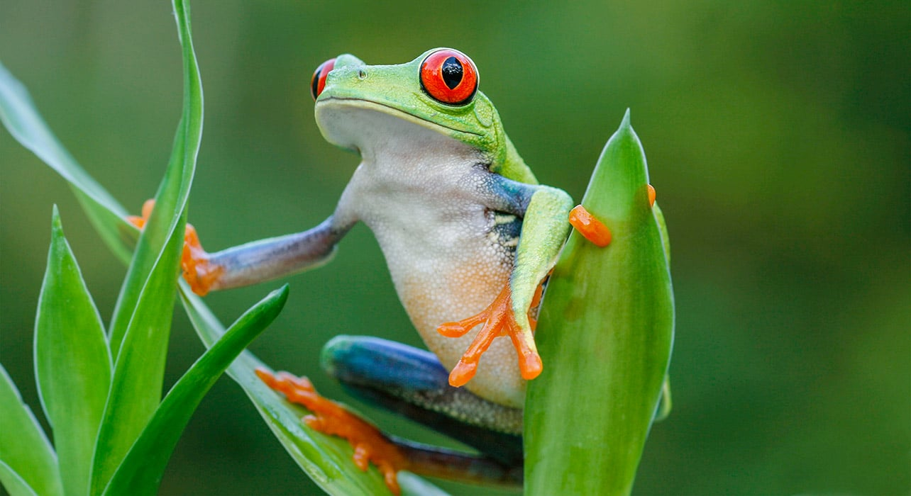 costa rica red eyed tree frog wildlife