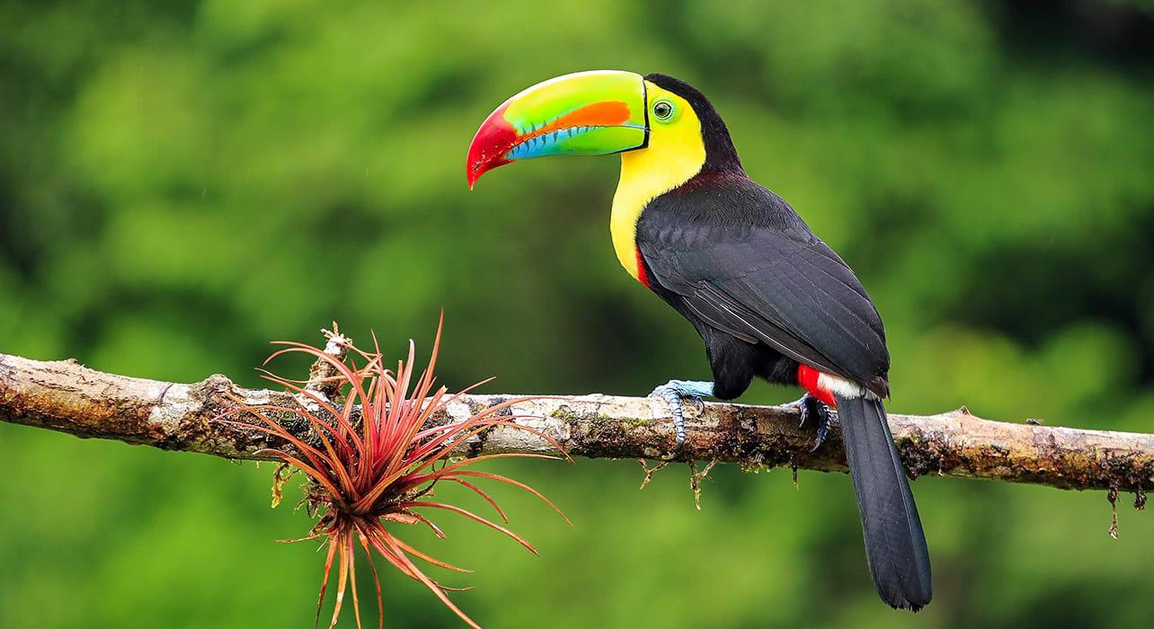 costa rica kel billed toucan