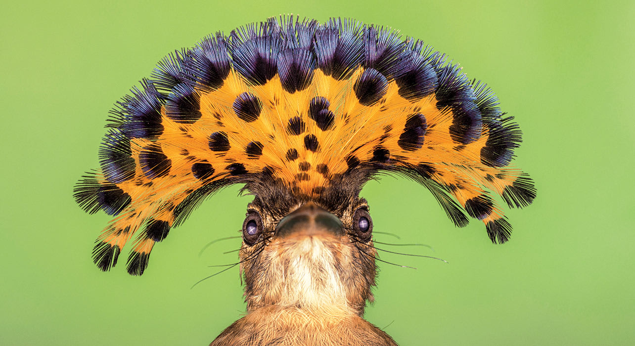 7 slide royal flycatcher costa rica bird closeup pano