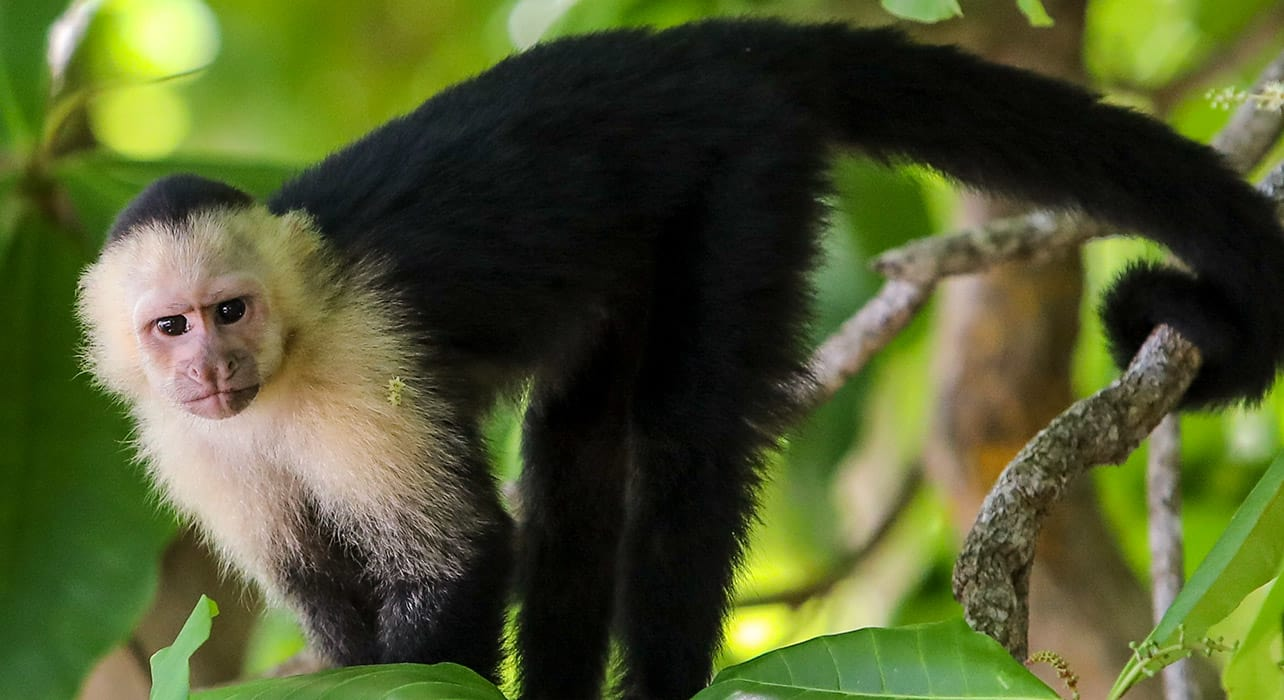 costa rica panama capuchin siting rainforest