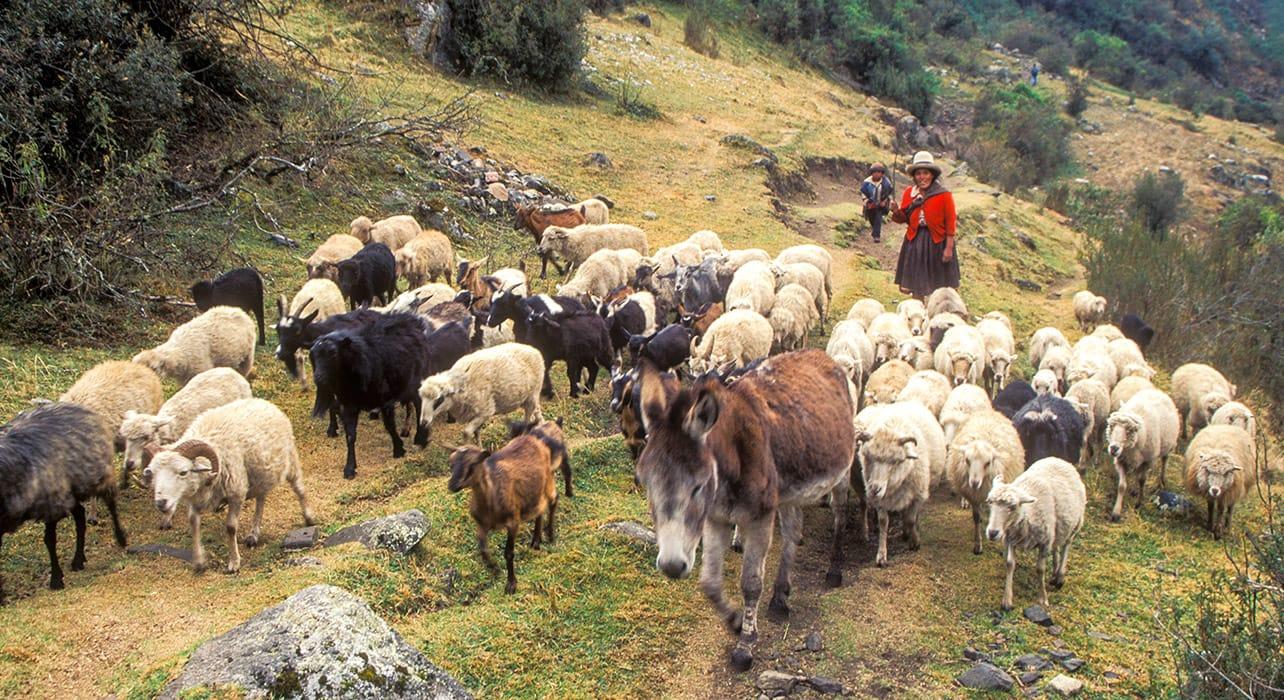 peruvian woman with sheep donkey