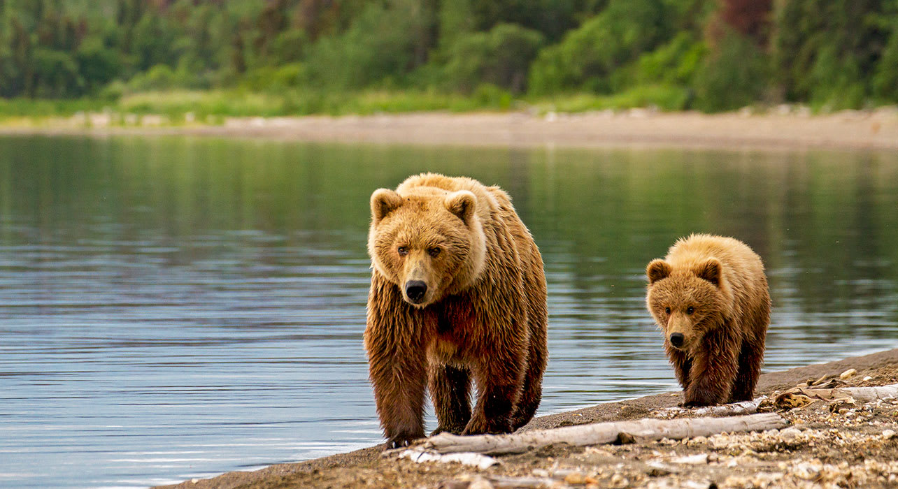 alaska mother brown bear and cub