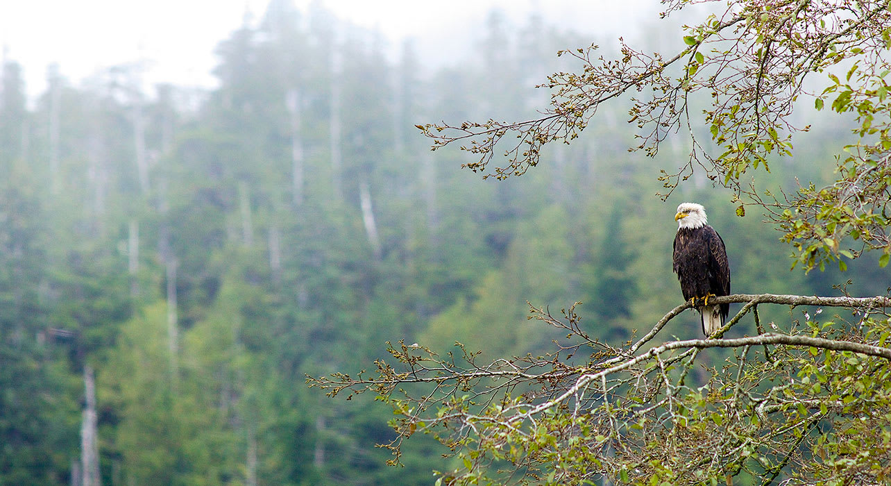 7 slide bald eagle alaska wildlife forest pano
