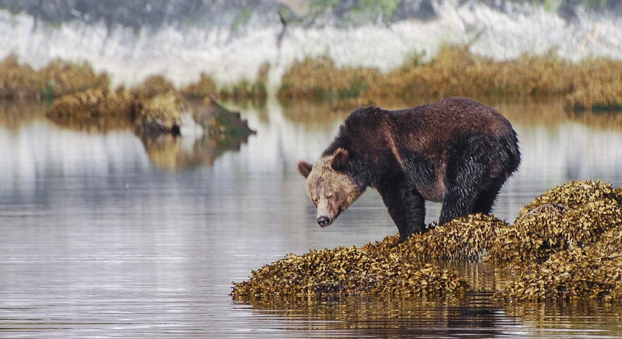 alaska sitka bear