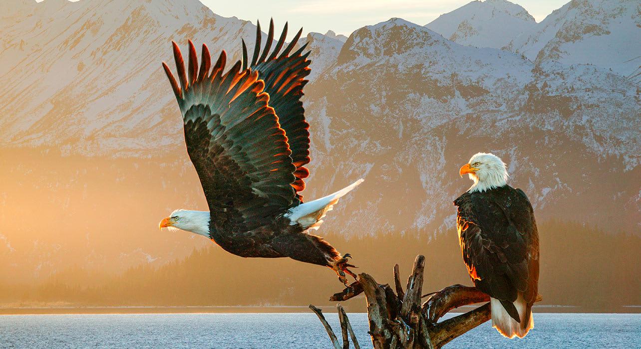 alaska sitka bald eagle