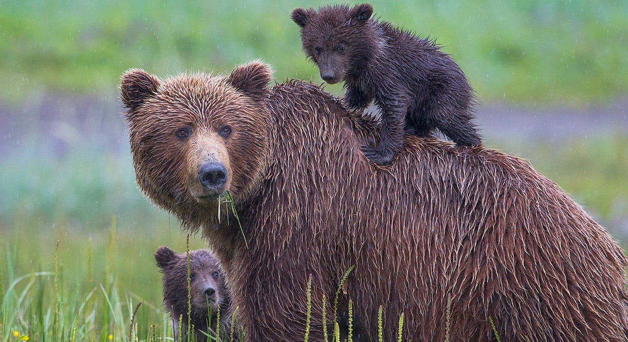 alaska wildlife bears