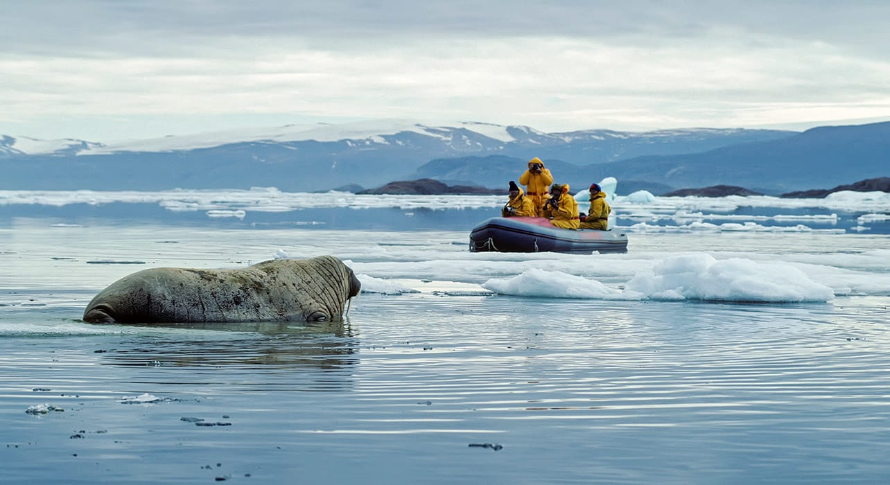 2 slide walrus ellesmere island canada pano